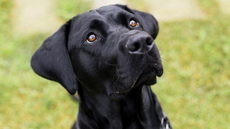 labrador-americano-nero-cane-sguardo.jpg